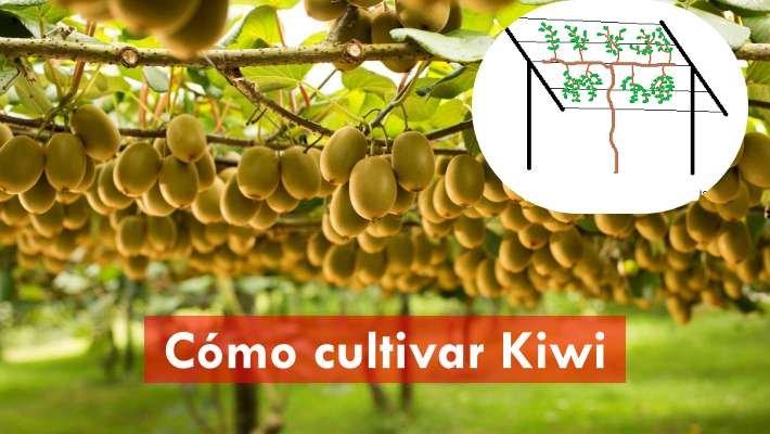 Cómo cultivar kiwi